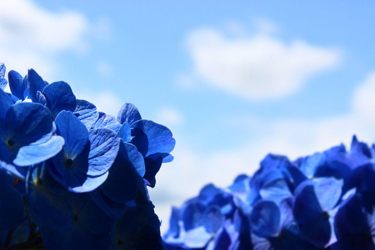 大雄寺から黒羽城址公園まで百花繚乱の紫陽花が見事!