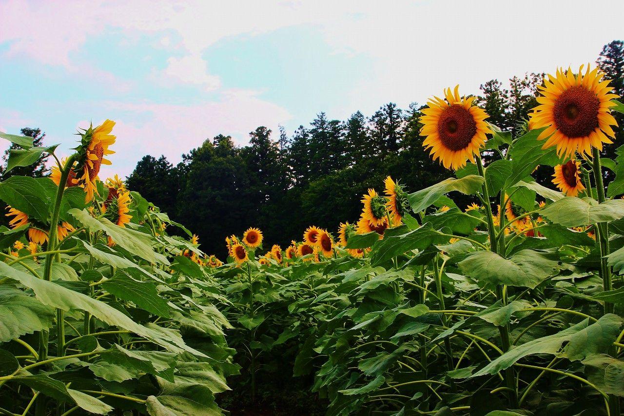 ハンナガーデンに咲く、ひまわりの花に感動