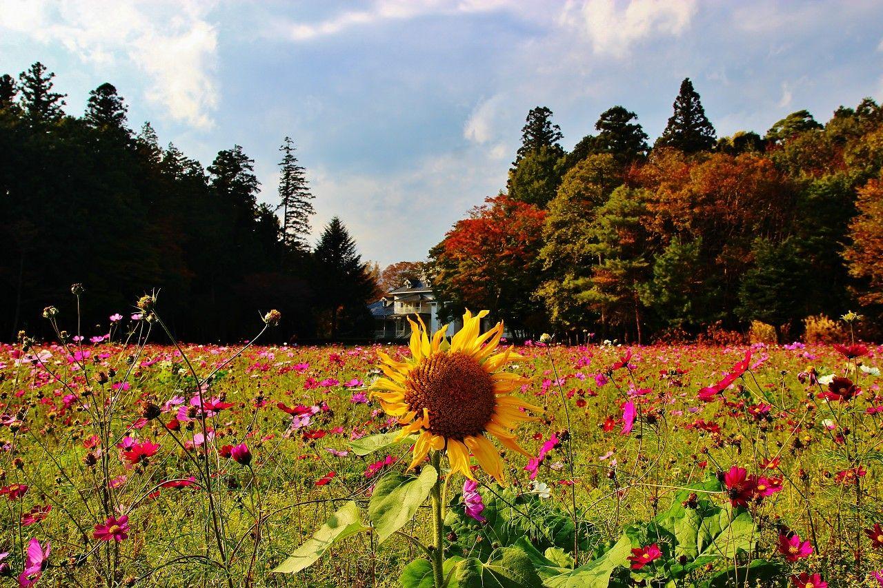 夏の向日葵(ひまわり)から秋の秋桜(コスモス)へ