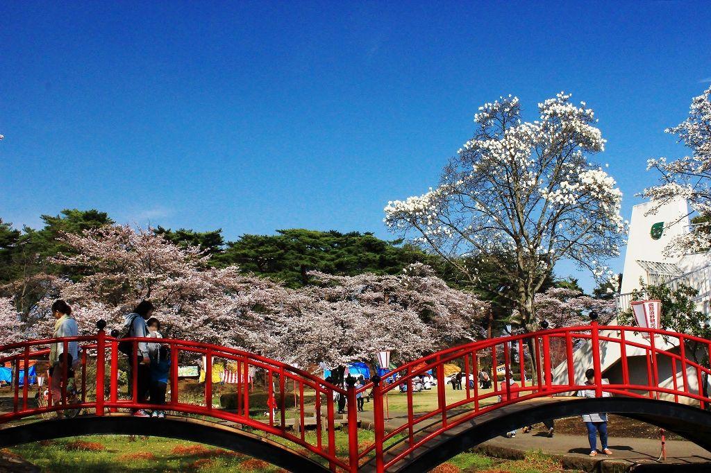 明治時代に開園の烏が森公園の桜は1,300本!