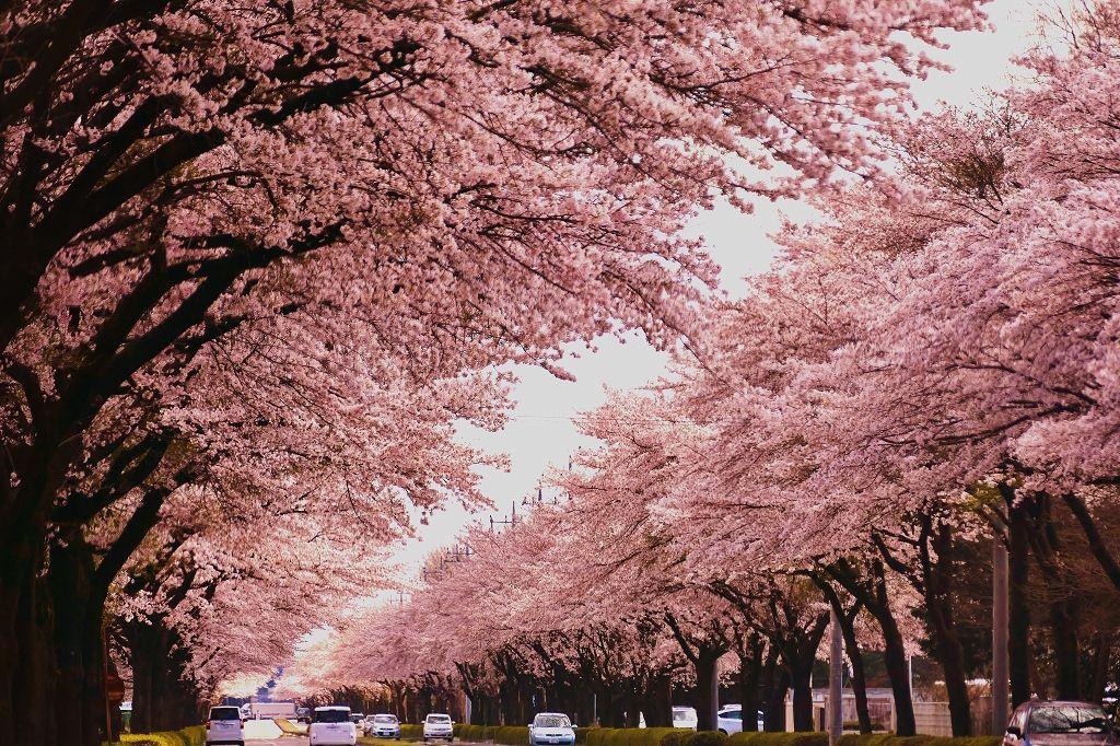 感動必至!那須連峰に向かって伸びる、圧倒的迫力の桜並木