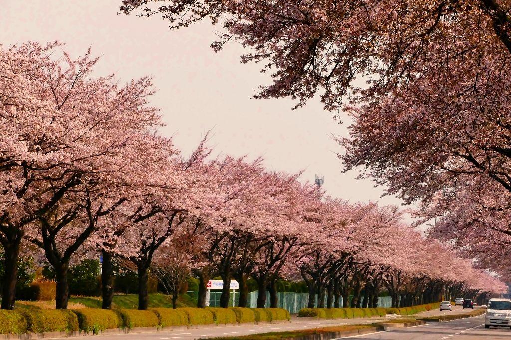 圧巻!雪の残る山脈に向かって一直線に走る桜のトンネル