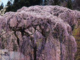絶景!那須高原芦野の「桜ケ城」と武家屋敷の枝垂れ桜