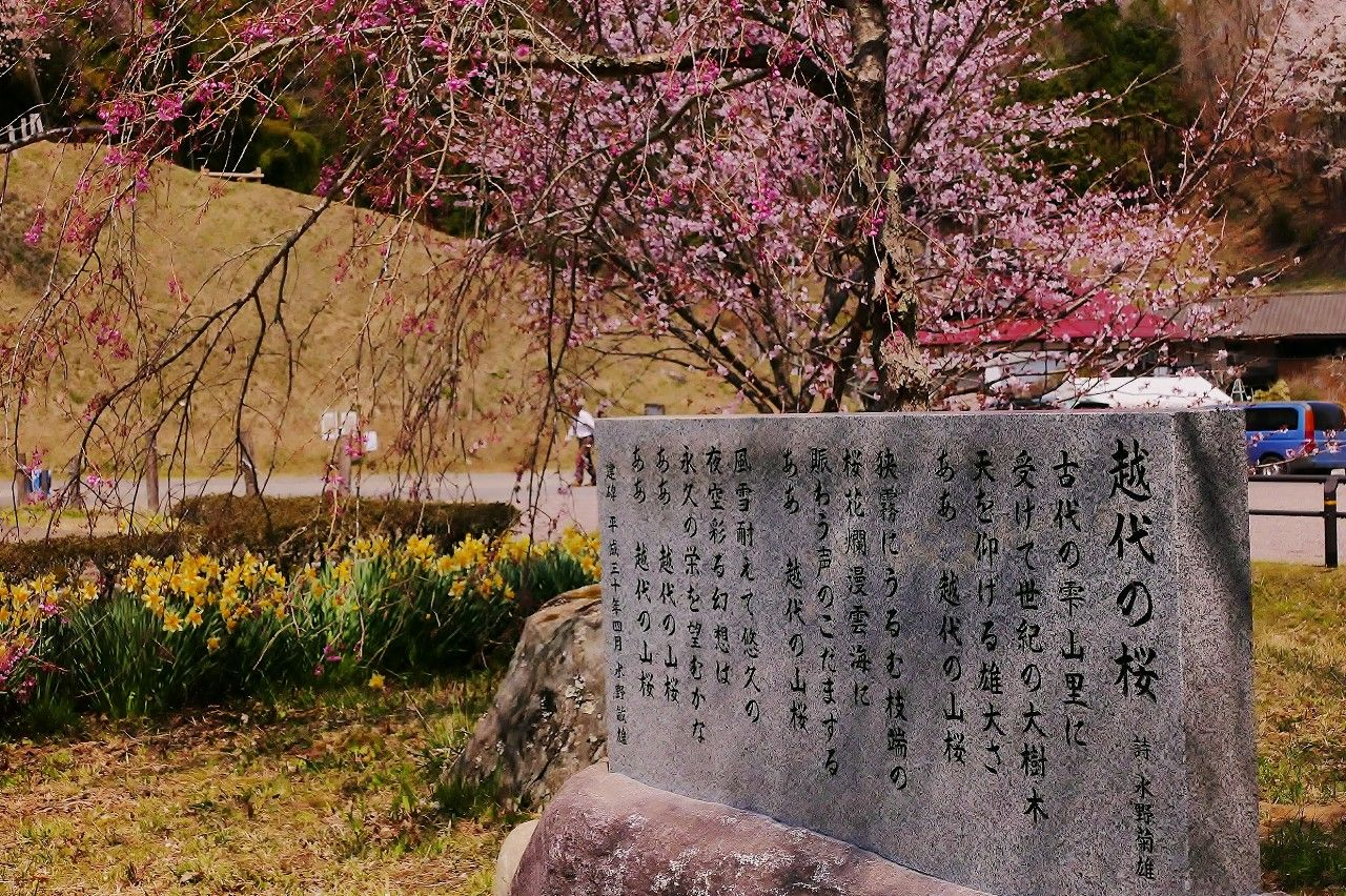 """日本全国で唯一!林野庁""""森の巨人たち百選""""に選出された山桜"""