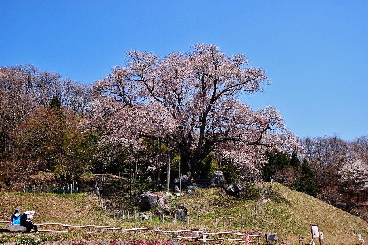 威風堂々の樹勢が見るものを圧倒する!山桜の巨木「越代のサクラ」