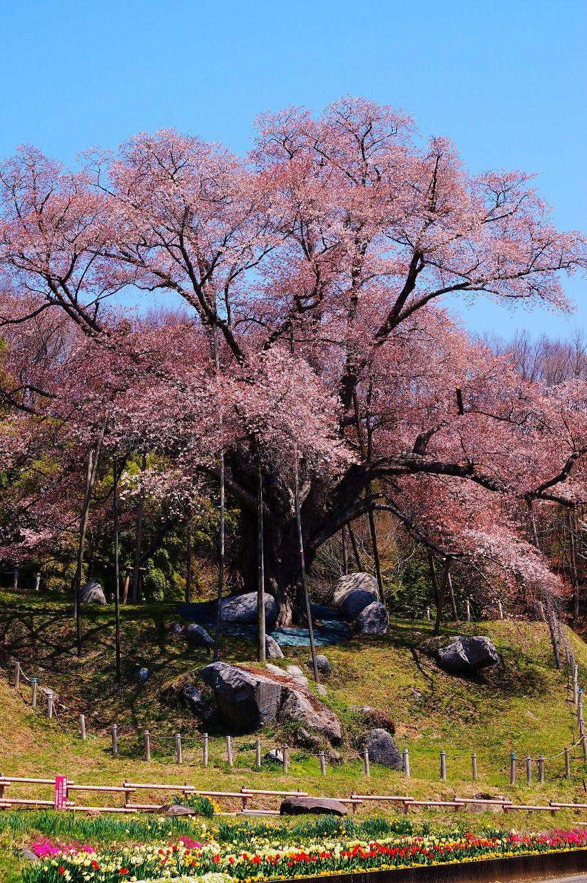 巨木の生命力が放つパワースポット!夢の桜街道めぐり