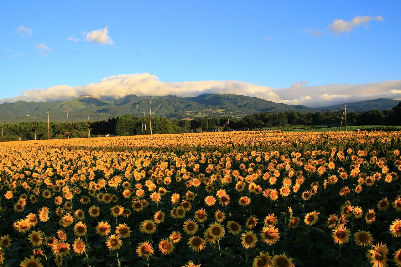 那須連峰の山麓に広がる200万本のひまわりは壮観!