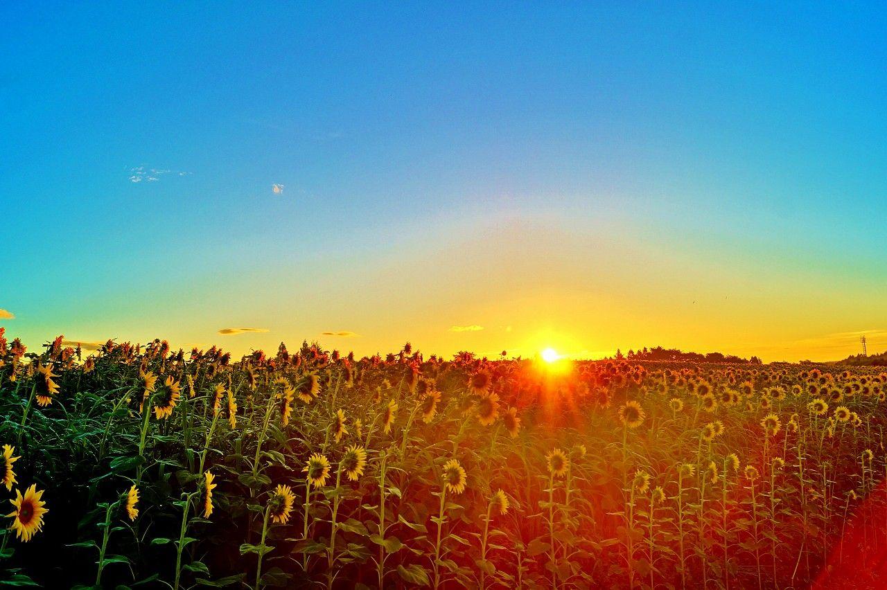 夜明け前!太陽に向かって咲くひまわりの後ろ姿も必見!