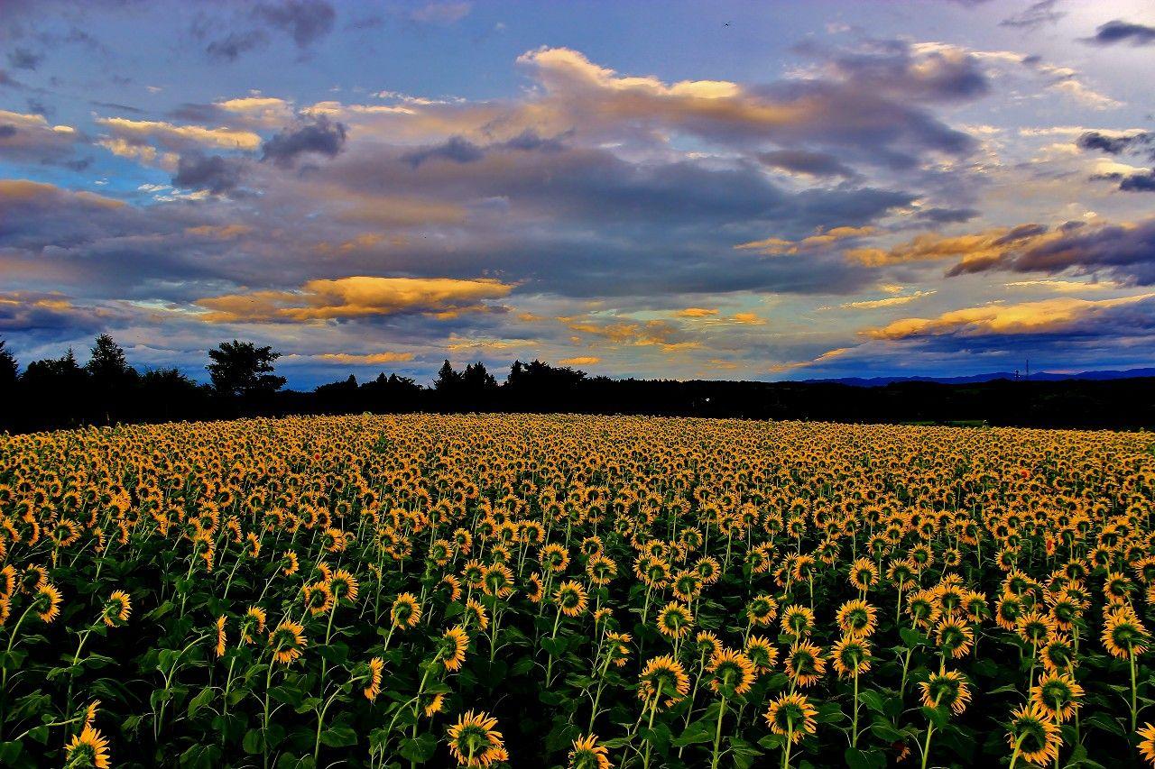 刻々と変わる那須高原の大自然とひまわりのコラボが凄い!