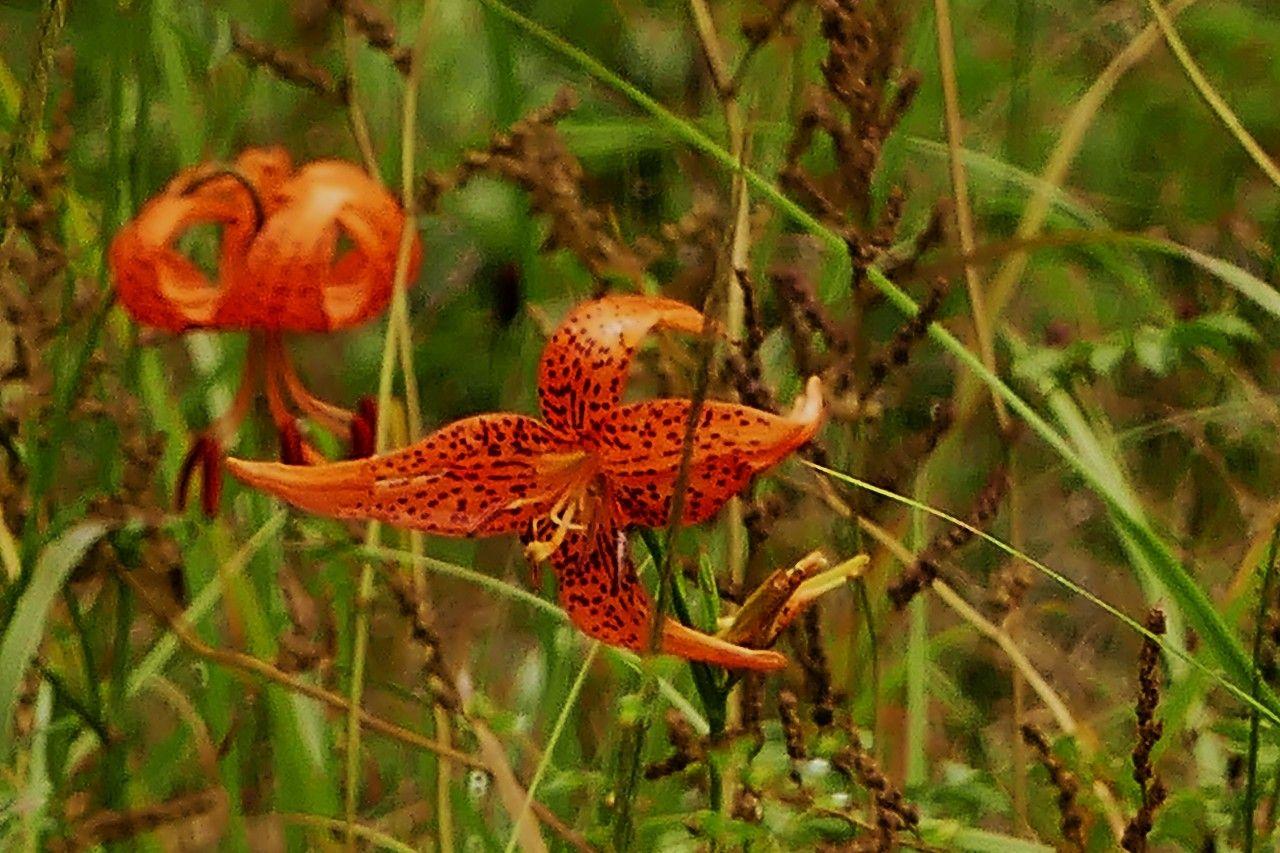国内で一番小さな「ハッチョウトンボ」も生息