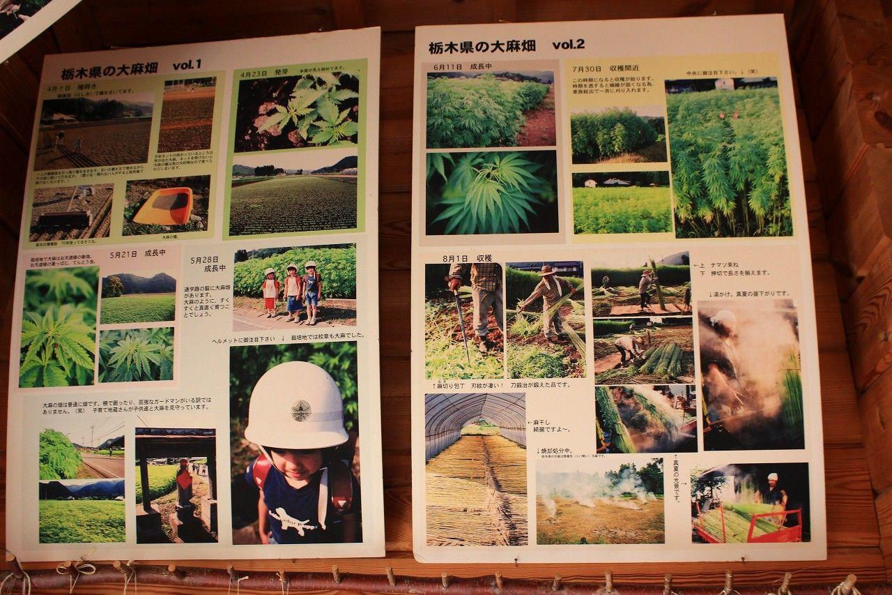 栃木県では一部の学校の校章や校歌などにも大麻が登場
