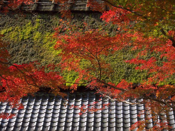 藁ぶき屋根に映える紅葉