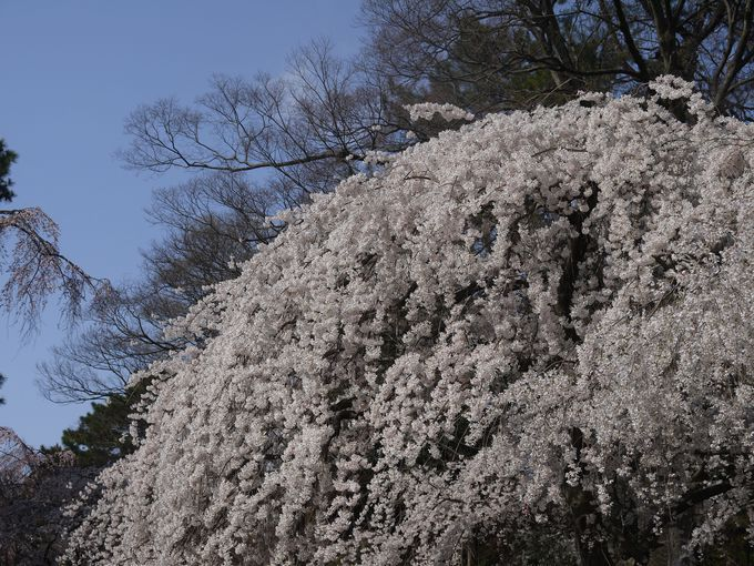 京都で満開の桜を愛でるならこのしだれ桜から「京都御苑近衛邸跡」