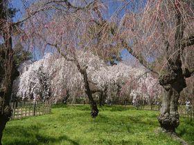 京都の桜の満開を愛でるなら「京都御苑近衛邸跡」のしだれ桜から!