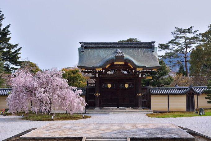 京都大覚寺「いけばな嵯峨御流」華道祭の日は「しだれ桜」も見ごろだ!!