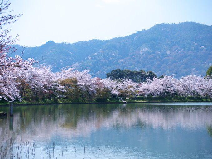 京都に春を告げる華道祭と桜風景「嵯峨野大覚寺」
