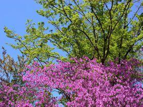 見頃は御室桜と同時期!京都・仁和寺は隠れたツツジの名所