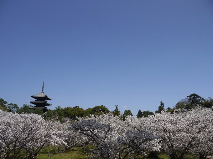境内の御室桜