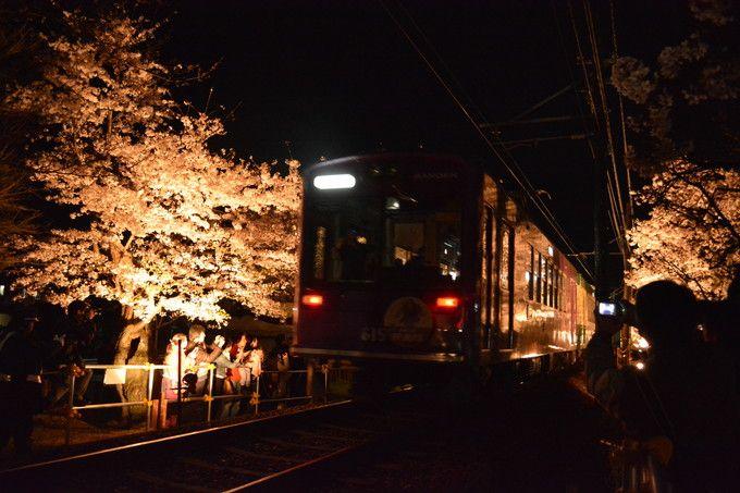 徐行を始める夜桜電車と「嵐電桜のトンネル」ライトアップ