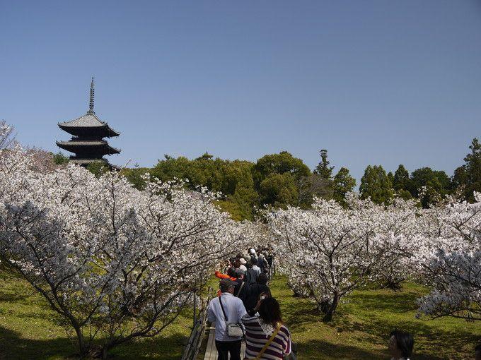 仁和寺の桜のトンネル