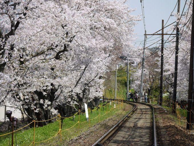 昼間の「嵐電桜のトンネル」