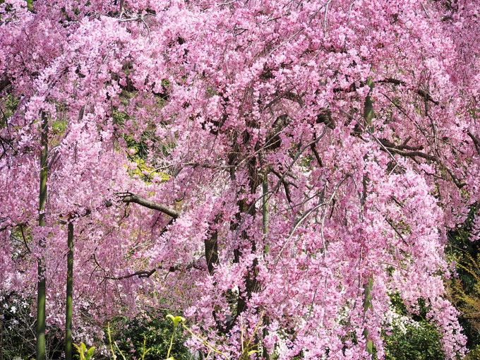 JR京都駅から約10分で到着!花園駅エリアの桜名所4選