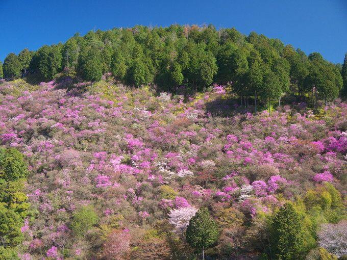 栂ノ尾西明寺裏山のミツバツツジ群生