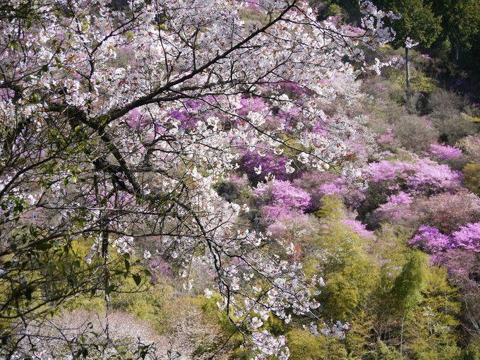 運が良いと桜も見ごろ