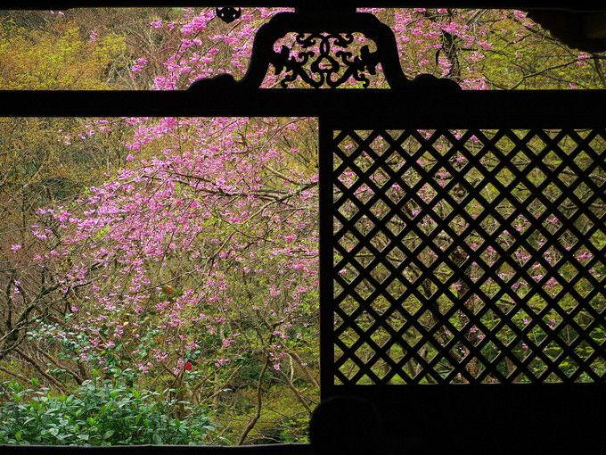 世界遺産高山寺の桜