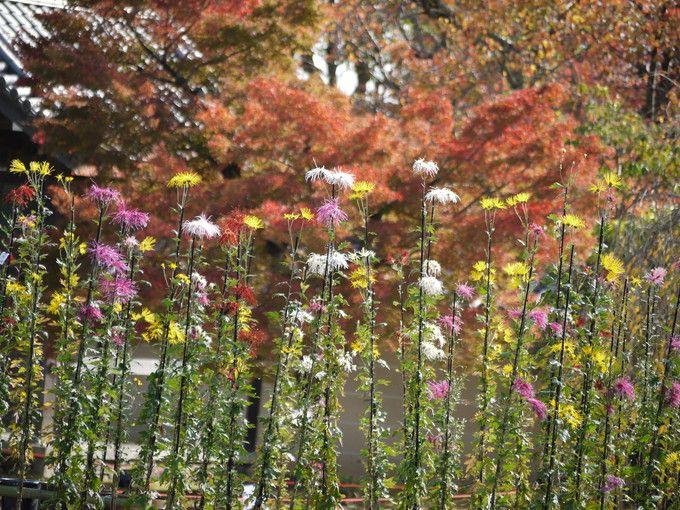 秋を彩る可憐な嵯峨菊