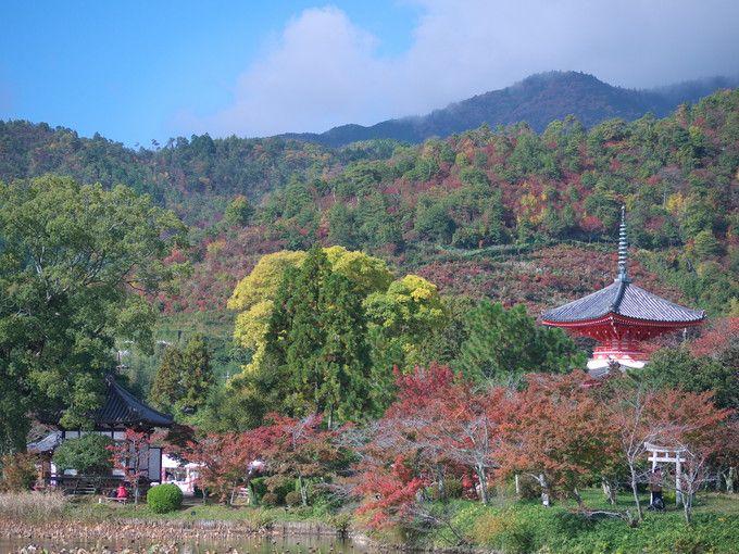 色彩を楽しむ、京都大覚寺・錦秋の紅葉と「嵯峨菊展」