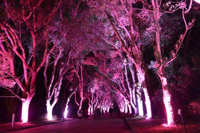 京都府立植物園(くすのき並木のイルミネーション)