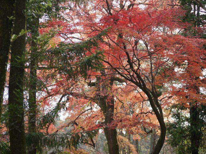 12月中旬の京都府立植物園(フウの紅葉)