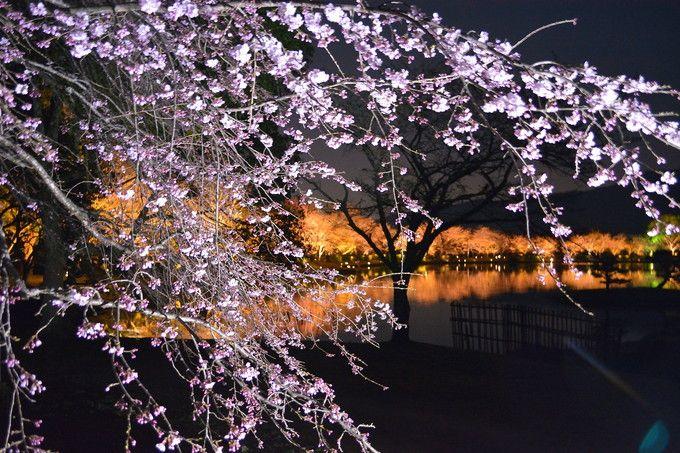 春爛漫の「桜ライトアップ」