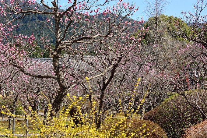 小野小町伝説を伝える京都山科「隨心院」の「小野梅園」