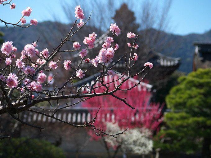 その名の通り梅が咲き誇る梅宮大社