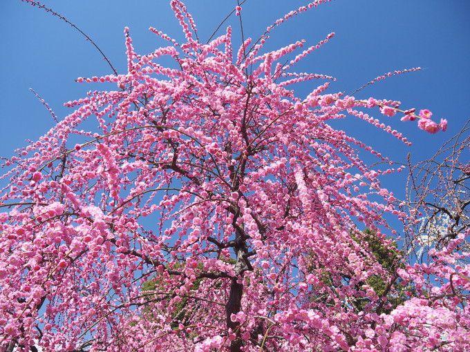 桜と見間違う「しだれ梅」が見事な城南宮