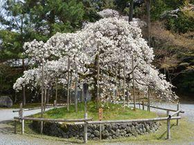 千眼桜に西行桜、業平桜も!京都洛西で必見の3名桜