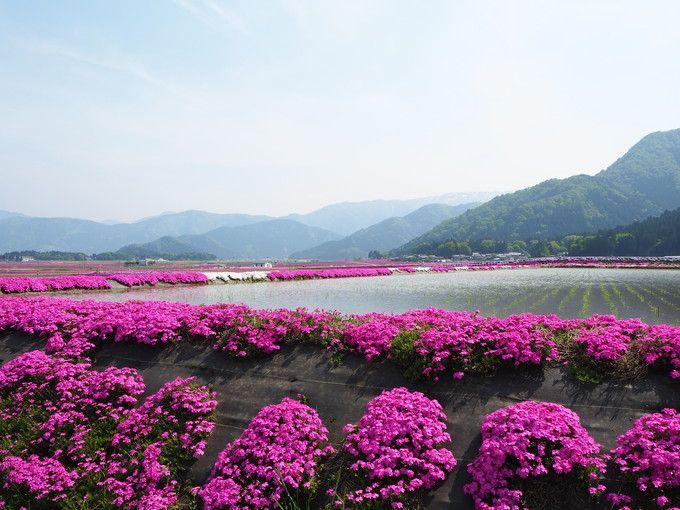 見事な芝桜風景