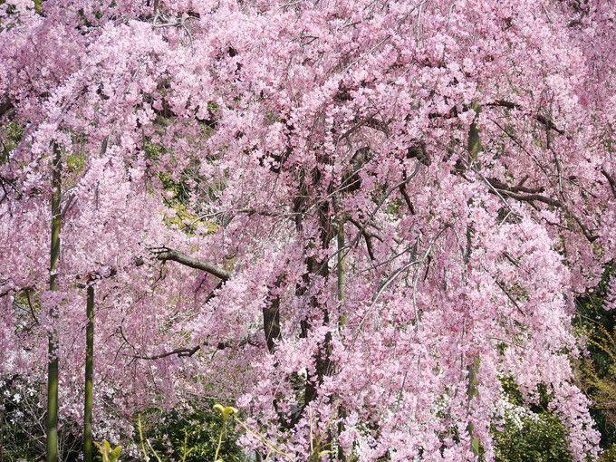 見逃すな!法金剛院の四季折々の風景を 京都駅から電車で12分