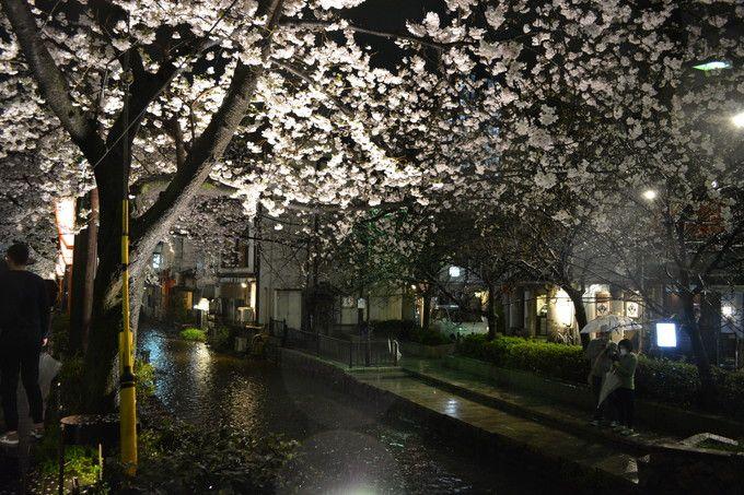 四条河原町近辺・高瀬川沿いの桜のライトアップ