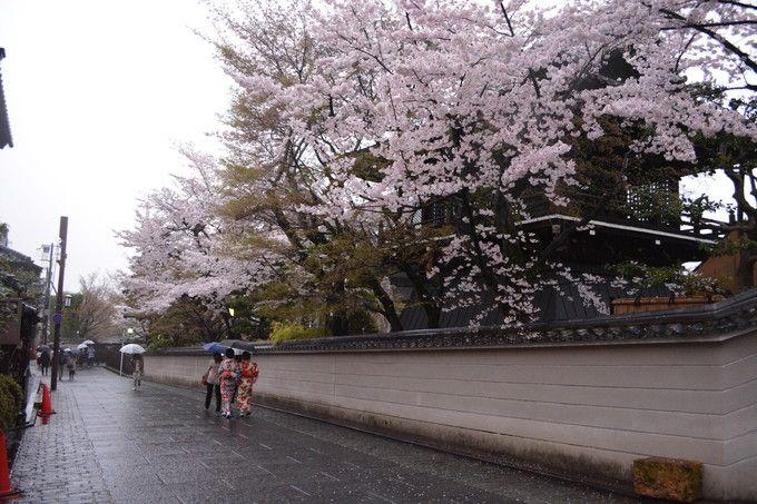 ねねの道の桜も見逃せない