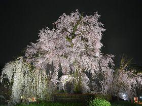 旅情がかきたてられるぞ!京都・東山、雨の日の桜見物