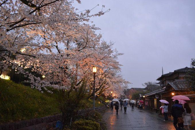 高台寺公園の桜もずらっと並んでいる