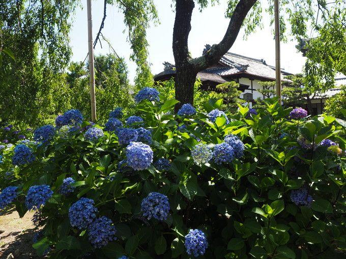 待賢門院桜周辺にも数多くの紫陽花と蓮が咲いている