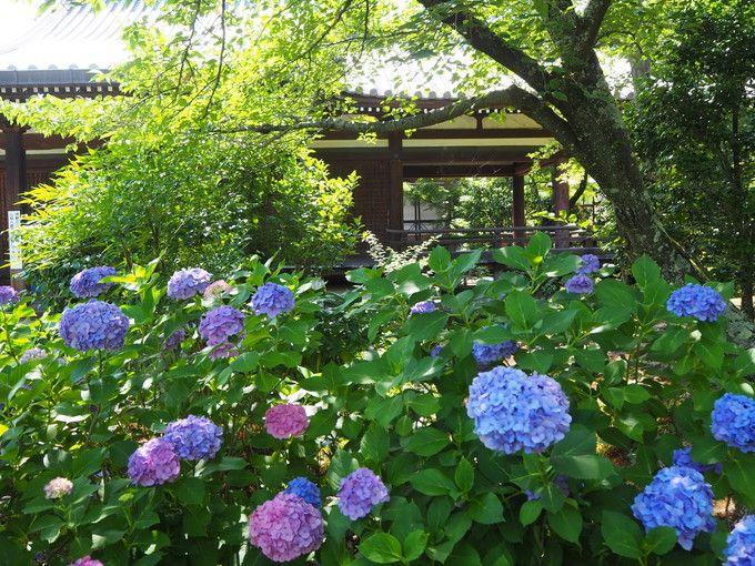 見事な風景を創り出す紫陽花