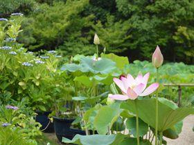 梅雨時の紫陽花・蓮は必見!京都「法金剛院」国宝の阿弥陀如来坐像も