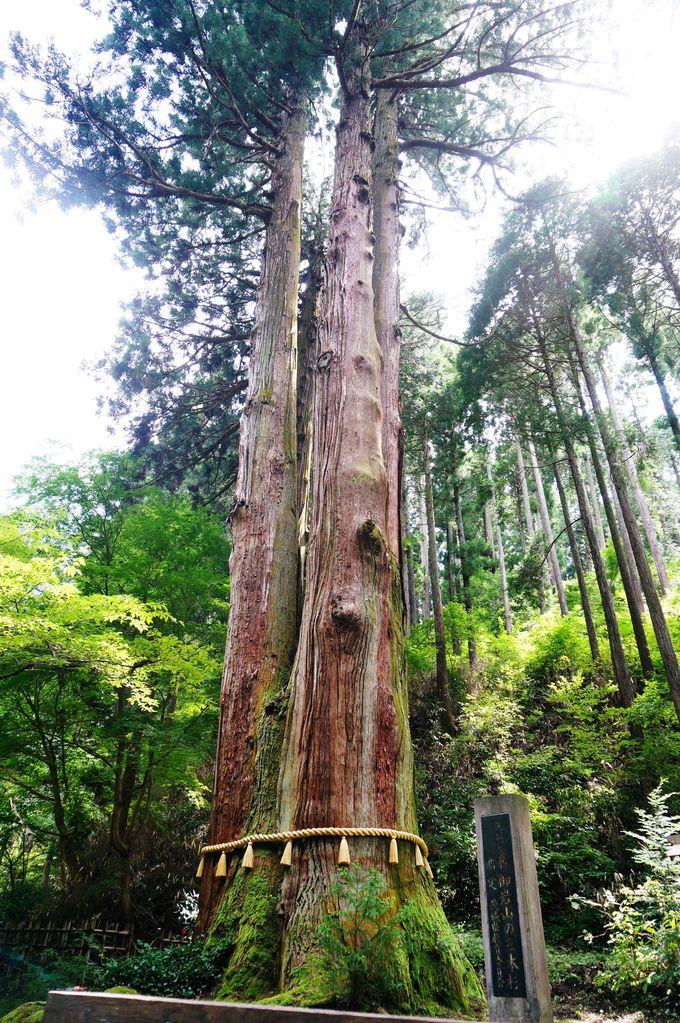 """""""森の巨人たち百選""""に選ばれた御神木!樹齢600年の神々しい巨樹が佇む「御岩神社」"""