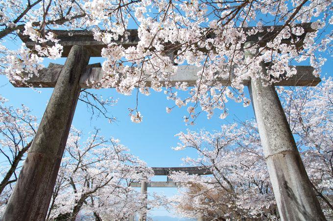 社紋は桜。季節ごとに表情を変える美しすぎる境内。