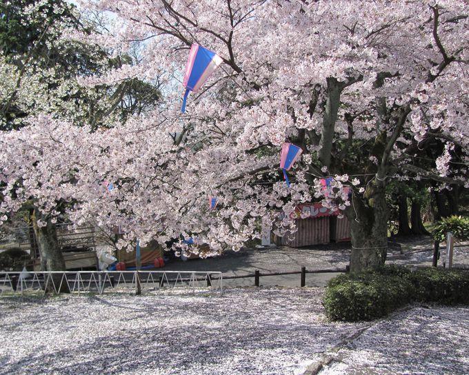 水平線と千本桜で眼福の春!
